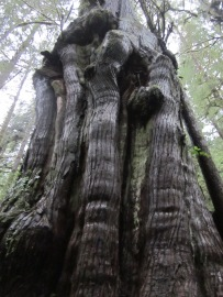 Old-growth Cedar