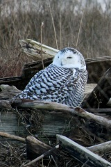 Arctic Visitors – Snowy Owls Head South
