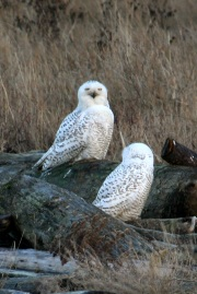 Pair of Snowy Owls