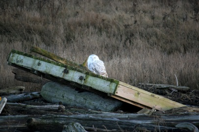 Snowy Owl at Boundary Bay
