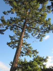 Douglas-fir Tree