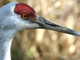 Encountering the Sandhill Crane