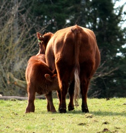 Nursing Calf