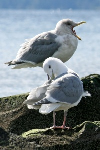 Sleepy Gulls