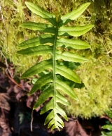 Licorice Fern: A Buried Candy Store
